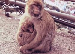 min_monkeys gibraltar