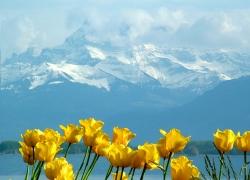 min_tulips_montblanc_lake_geneva