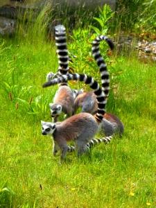 ring_tailed_lemur_prosimians_lemurs