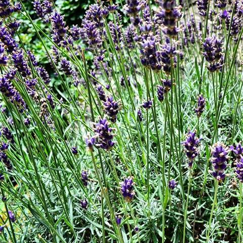 www.tripelonia.com - lavender scents (4)